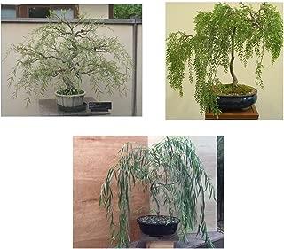 Bonsai Willow Tree Bundle - 3 Large Trunk Bonsai Tree Cuts - Get one Each Weeping, Australian, Dragon - Ready to Plant - Indoor/Outdoor Bonsai Tree's