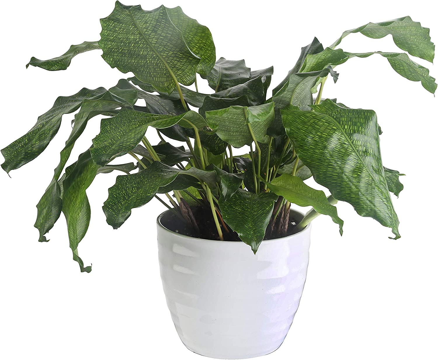 Max 72% OFF Costa Farms Calathea Network Credence Collection Tropicals Live Trending