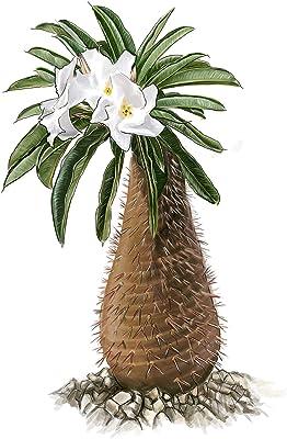 Exotische Kakteen Samen mit hoher Keimrate - Sukkulenten Samen Set für deinen eigenen wunderschön blühenden Kaktus (1x Madagascar-Palme)