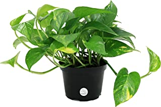 Costa Farms Golden Pothos Devil's Ivy Live Indoor Plant, 6-Inch, Ships in Grower's Pot