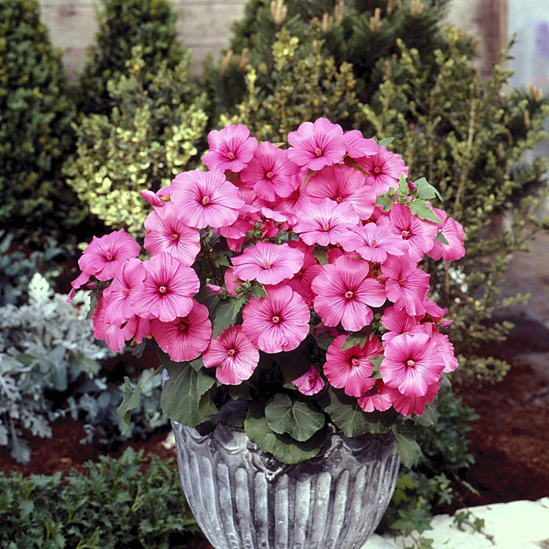Outsidepride Rose Mallow Loveliness Seeds 1000 - Manufacturer OFFicial shop favorite