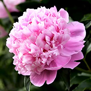 Peony Monsieur Jules Elie -1 Healthy 3/5 Eye Clump - Fragrant Pink Peony! | Ships from Easy to Grow TM