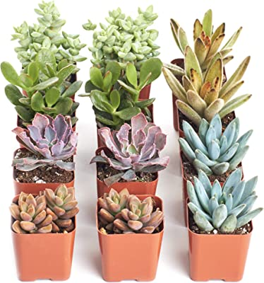 Shop Succulents | Assorted Live Plants, Hand Selected Variety Pack of Mini Succulents | Collection of 12,