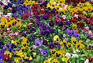 AGROBITS 500  Pansy  680 mg   MA  lange Swiss flowes pour 2017 Annuelle