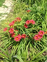 Live Daylily (Dwarf, red) aka Hemerocallis 'Little Business' Plant Fit 1 Gallon Pot