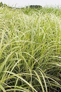 SmartMe Live Plant - Variegated Japanese Silver Grass Miscanthus sinensis 'Variegatus