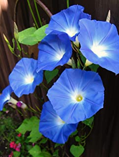 HOT - Morning Glory Heavenly Blue 500 Seeds