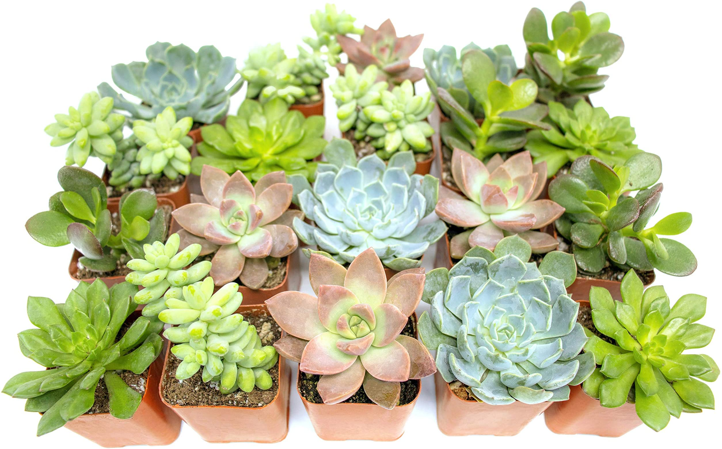 Amazon Com Succulent Plants 20 Pack Fully Rooted In Planter Pots With Soil Real Potted Succulents Plants Live Houseplants Unique Indoor Cacti Mix Cactus Decor By Plants For Pets Garden Outdoor