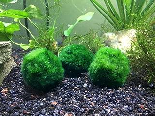 Aquatic Arts 1 B-Grade Giant Marimo Moss Ball XL Size - Real Marimo - 1.75 to 2.25 Inches