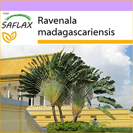 SAFLAX - Árbol del viajero - 8 semillas - Ravenala madagascariensis
