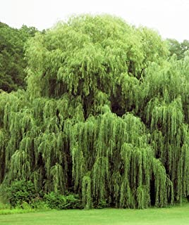 Beautiful Arching Canopy 2 Golden Weeping Willow Trees - Easy to Grow Weeping Willow Tree Cuttings