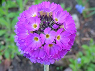 Primula Denticulata Seeds: Drumstick Primrose