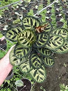 Calathea makoyana (Peacock Plant) - 6