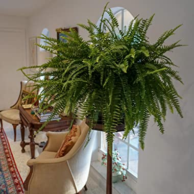 """United Nursery Boston Fern Live Indoor Outdoor Plant Hanging Basket 22-26"""" inches Wide"""