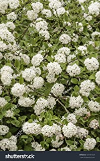 HOT - Viburnum carlesii Compactum KOREANSPICE Fragrant Seeds