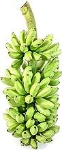 Ice Cream Banana Tree Live Plant