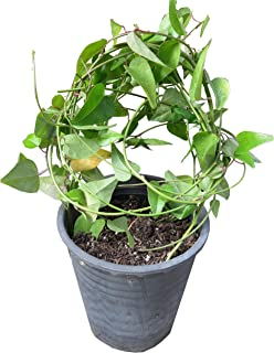 Tiliacora triandra 100 Seeds Yanang Herbs Seeds Ya-Nang Rare Exotic Jello Plant
