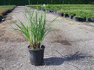 PlantVine Tulbaghia violacea, Society Garlic - Medium - 6 Inch Pot (1 Gallon), 4 Pack, Live Plant