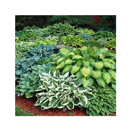 Hosta Plants Amazoncouk