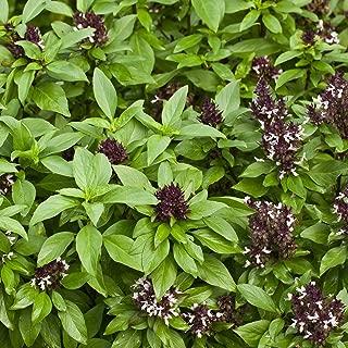 Thai Basil Seeds - Siam Queen - 1 Oz Approx 22,000 Seeds - Non-GMO, Heirloom - Culinary Herb Garden Seeds: Indoor Gardening, Microgreens