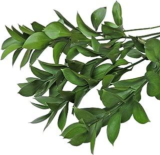 Farm Fresh Natural Israeli Ruscus Greens - 100 stems