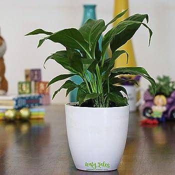 Root Bridges Indoor Lipstick Aglaonema Plant Single Stem Amazon In Garden Outdoors