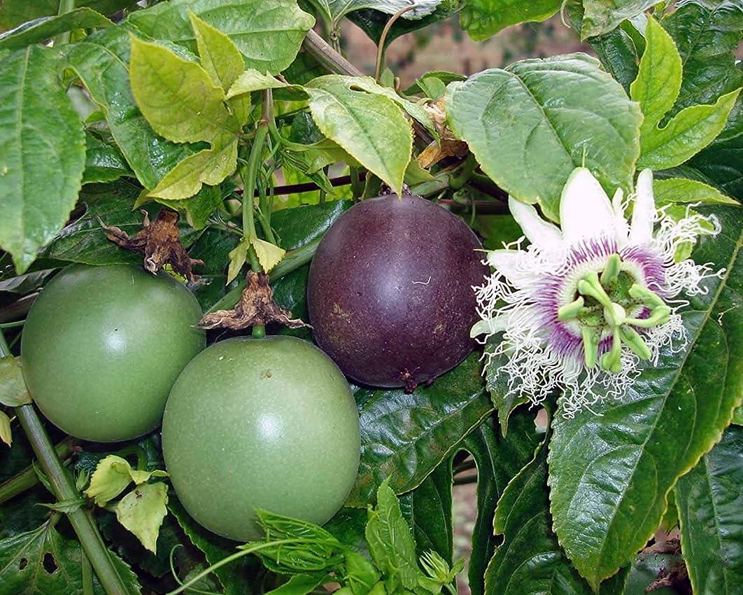 Edible Passion Fruit Vine - Passiflora Purple Possum Passion Fruit
