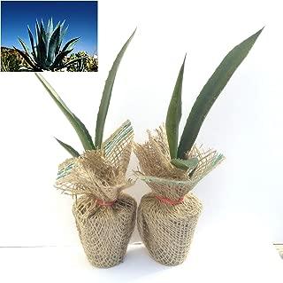 Agave Americana - Blue Agave - 2 Small Plants