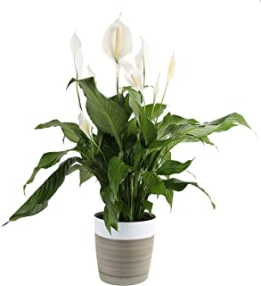 Costa Farms Peace Lily Spathiphyllum, Indoor Plant in in Décor Planter, 3-Foot, White-Natural