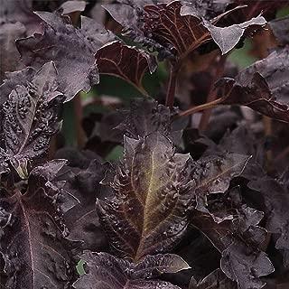 Basil Herb Seeds - Purple Ruffles - 1/4 Oz: Approx 5,000 Seeds - Non-GMO, Heirloom - Culinary Herb Garden Seeds