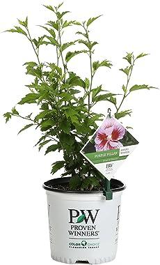 Purple Pillar Rose of Sharon (Hibiscus) Live Shrub, Purple Flowers, 1 Gallon