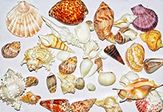 Seawave Creatures Natural Seashell Mixed (Big Size - 1KG) for Aquarium, Decoration, Art, Handcraft, Jewelry Design, Pooja ...
