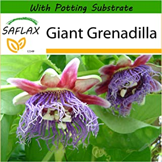SAFLAX - Giant Grenadilla - 12 Seeds - with Soil - Passiflora quadrangularis