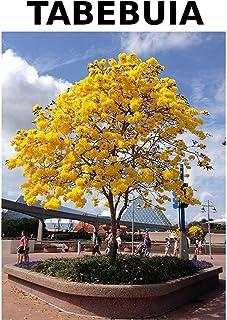 Seedeo Gelber Trompetenbaum Markhamia lutea 10 Samen