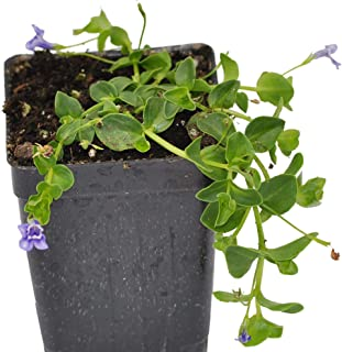 Best blue honeywort plant Reviews