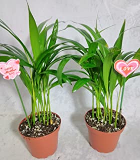 Mother's gift two - areca Palm plant Dypsis lutescens 4'' pot Easy to grow!! unique from Jmbamboo