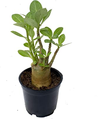 Indian Gardens - Arabicum Bonsai Plant (Root Trained) with Pot