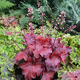 Heuchera Fire Alarm Red Villosa Thick Coral Bell 2.5 Inch Pot 1 Live Potted Plant Og003