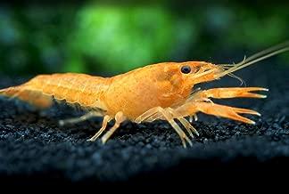 Aquatic Arts 1 Juvenile Neon Red Crayfish | Live Freshwater Aquarium Lobster/Crawfish/Crawdad/Real Living Fish Tank Pet
