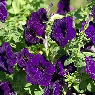 Petunia - Madness Series Flower Garden Seed - 1000 Pelleted Seeds - Deep Purple Blooms - Annual Flowers - Single Floribunda Petunias