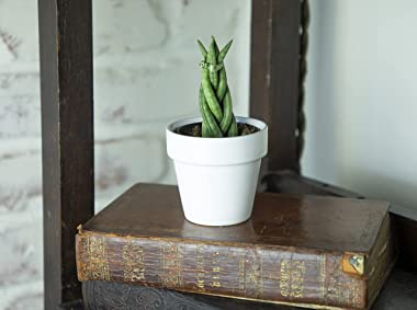 Braided Snake Plant, Sansevieria Cylindrica, Dracaena Live Plants, Succulents Plants Live, House Plants for Sansevieria Plant