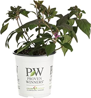 Pearl Glam Beautyberry (Callicarpa) Live Shrub, Dark Purple Foliage and Violet-Purple Berries, 4.5 in. Quart