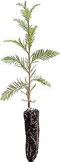 Montezuma Cypress   Live Tree Seedling (Small)   The Jonsteen Company