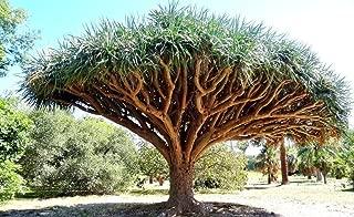 rare palm trees