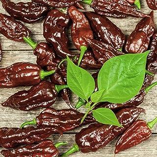 10 Samen Naga Black Chili - ertragreiche, superscharfe Sorte