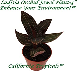 Best ludisia discolor jewel orchid Reviews
