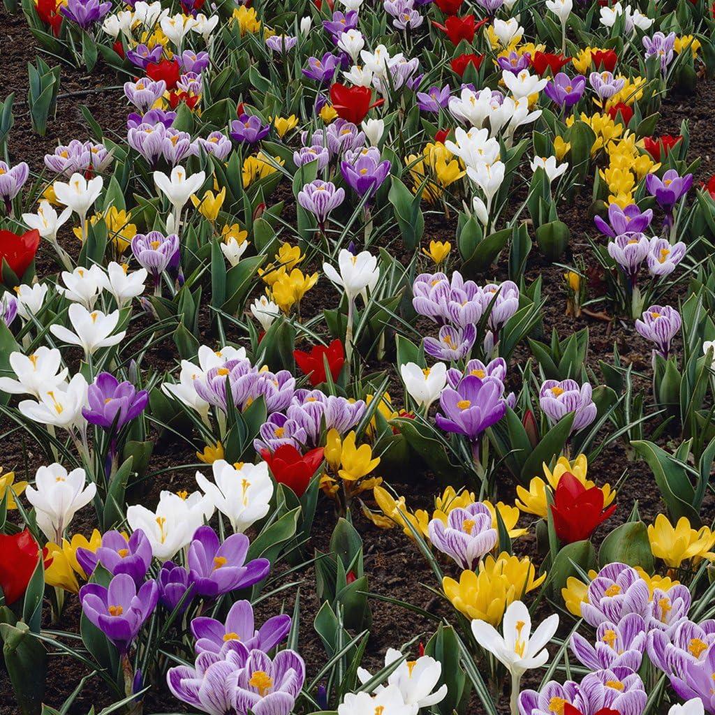 Van Zyverden Karma Cottage Garden Blend Set of 50 bulbs