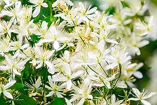 -Kangaroo Plants- Trachelospermum jasminoides, Confederate Jasmine, 1 Gallon