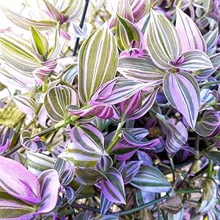Wandering Jew Lilac 3.5