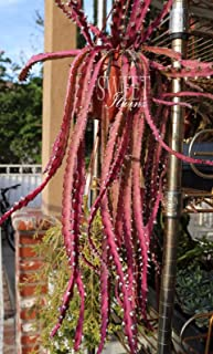 5 cuttings Rare Lepismium Cruciforme Rhipsalis Cruciformis Hanging Cactus Red